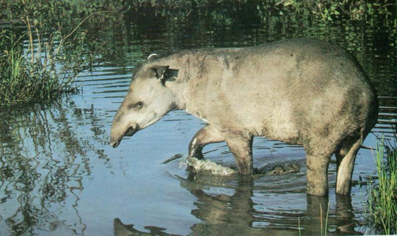 Brazilian tapir (J01); DISPLAY FULL IMAGE.