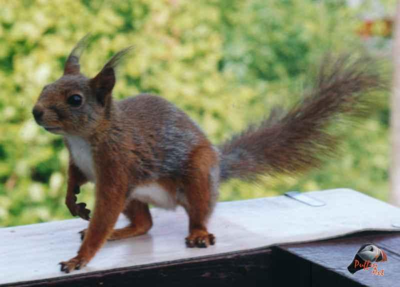 Squirrel; Image ONLY