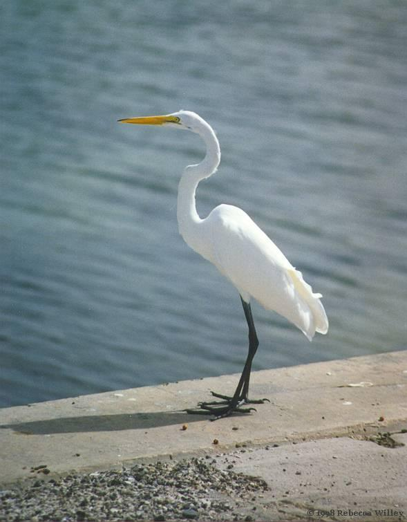 St Pete Florida - Egret; Image ONLY