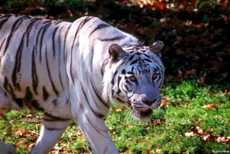 White Tiger 1; DISPLAY FULL IMAGE.