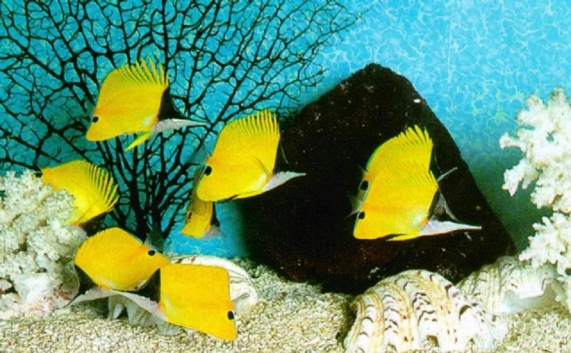 Yellow Longnose Butterflyfishes (코뿔나비고기); DISPLAY FULL IMAGE.