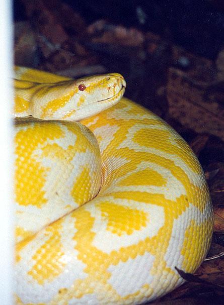 Yellow Snake Wallpaper Yellow Snake Name Yellow Snake