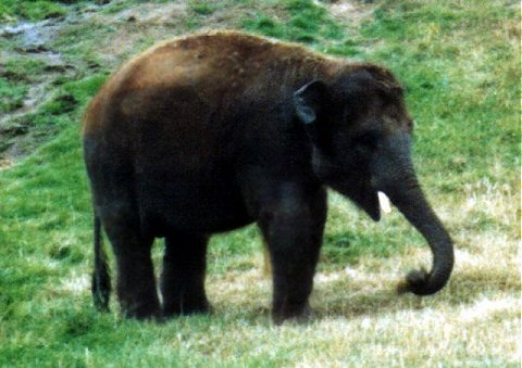 Re: Req pictures of elephants (Asian) - Young Elephant.jpg; Image ONLY