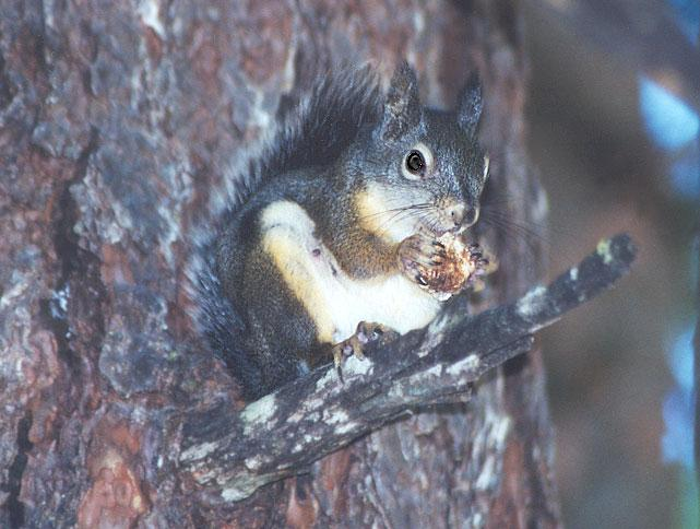 REQUEST: Douglas Squirrel (Chickeree); Image ONLY