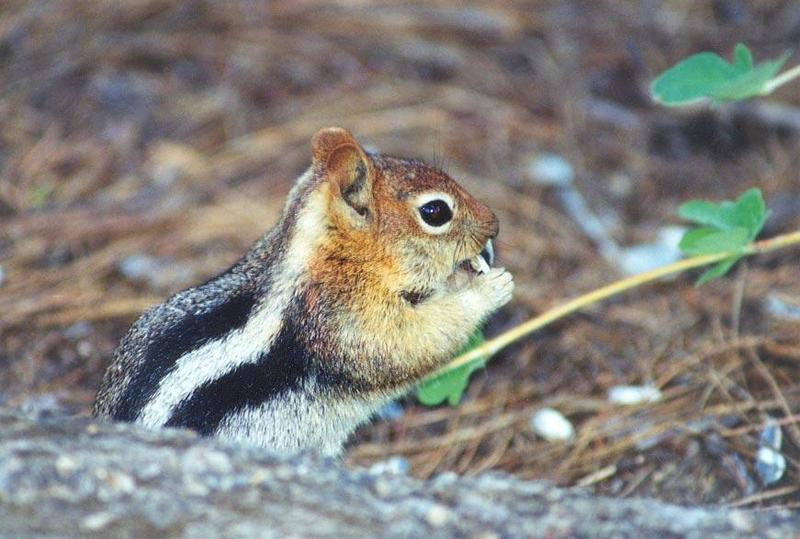 13-Lined Ground Squirrel; DISPLAY FULL IMAGE.
