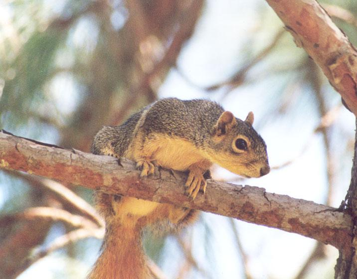 Fox Squirrel 82k jpg; Image ONLY