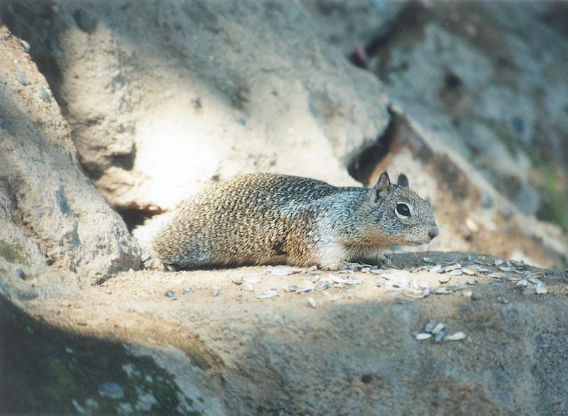 Calif Ground Squirrel ngoct4; DISPLAY FULL IMAGE.