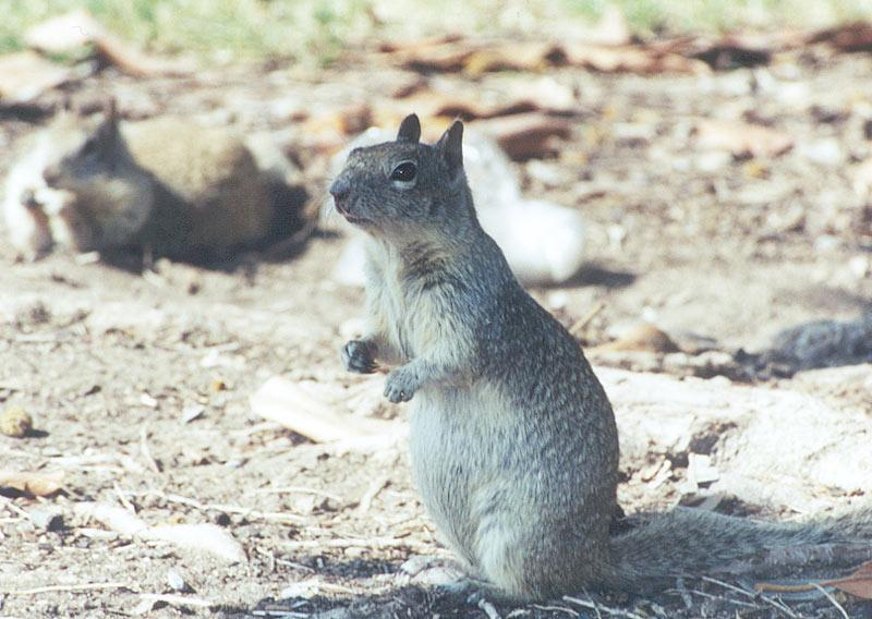 California Ground Squirrel 98k jpg; Image ONLY