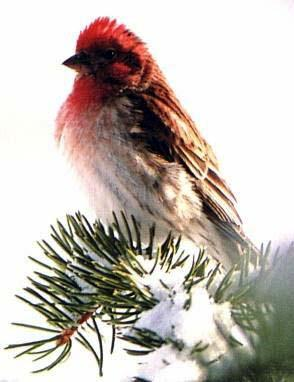 Re: Request for American Birds -- Purple Finch; Image ONLY