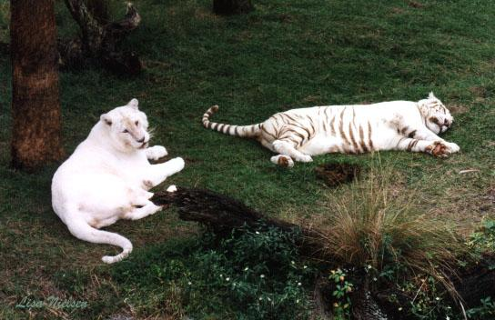 all white tiger1 - 217-17.jpg (1/1); Image ONLY