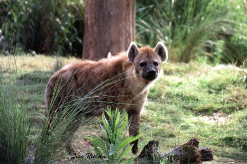 hyaena at busch gardens FL -- Spotted Hyena; DISPLAY FULL IMAGE.