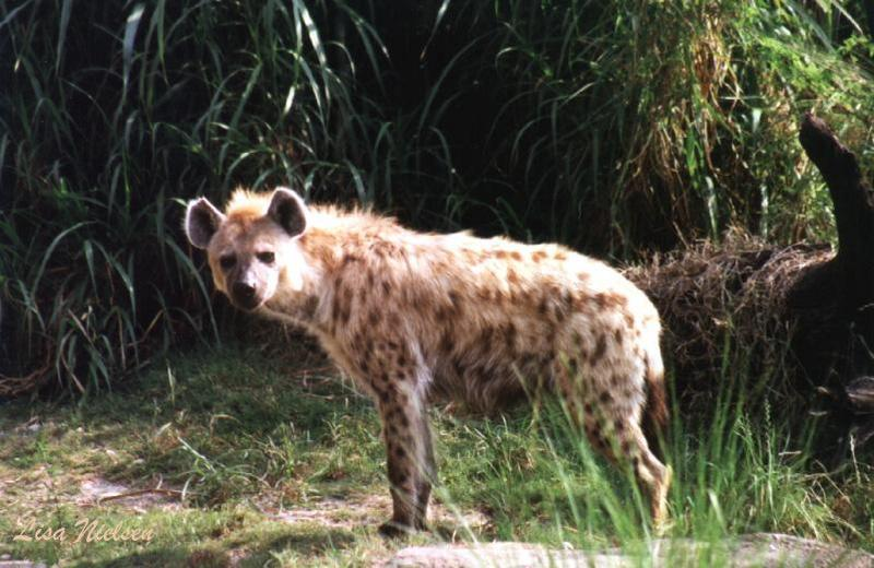 hyaena - 235-5.jpg (Spotted Hyena); DISPLAY FULL IMAGE.
