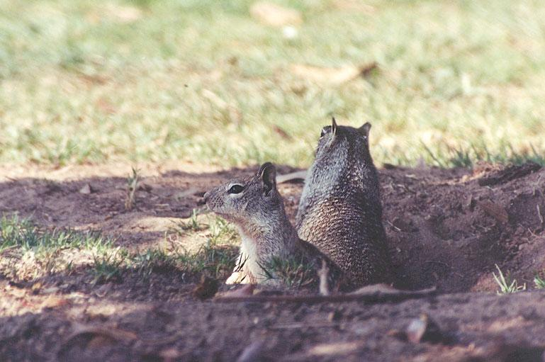 California Ground Squirrel 93k jpg; Image ONLY