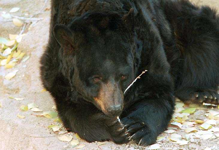 American Black Bear; Image ONLY