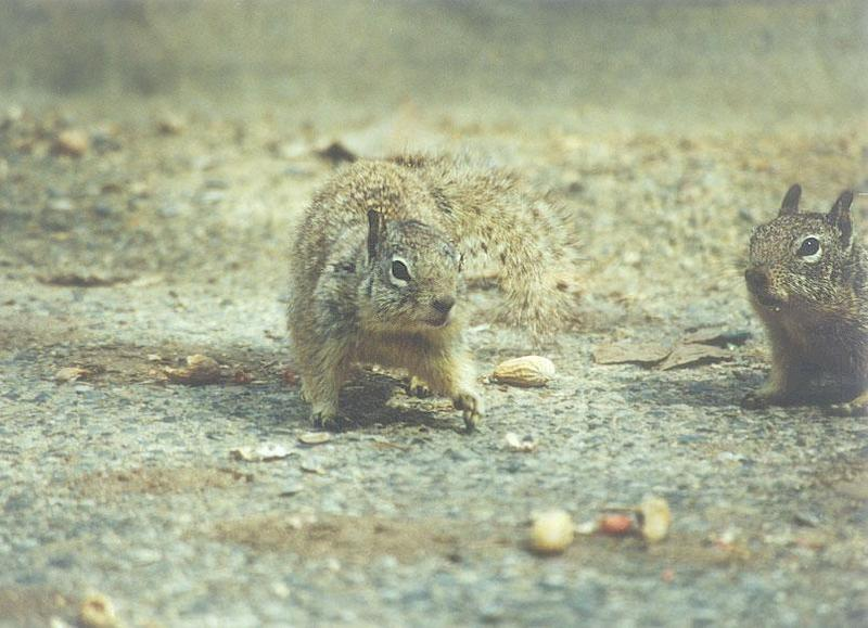 Calif Ground Squirrel april12.jpg (1/1) 13 20; DISPLAY FULL IMAGE.