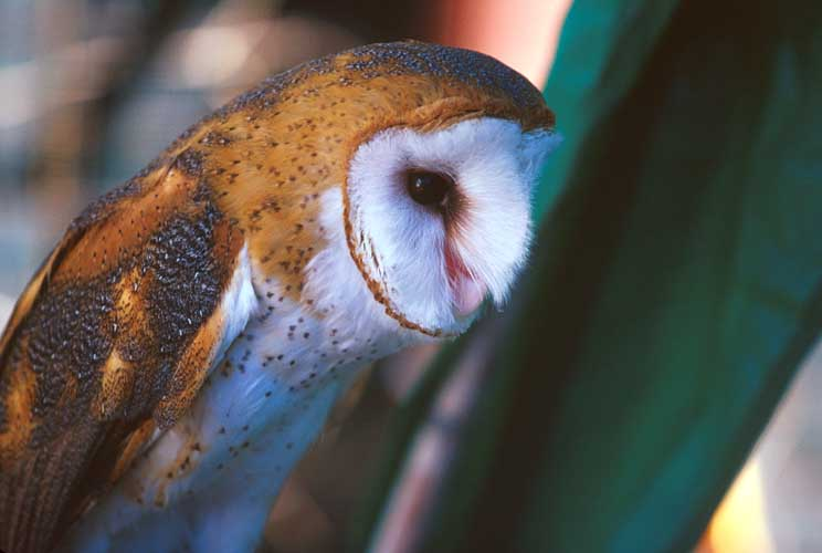 Barn Owl; Image ONLY