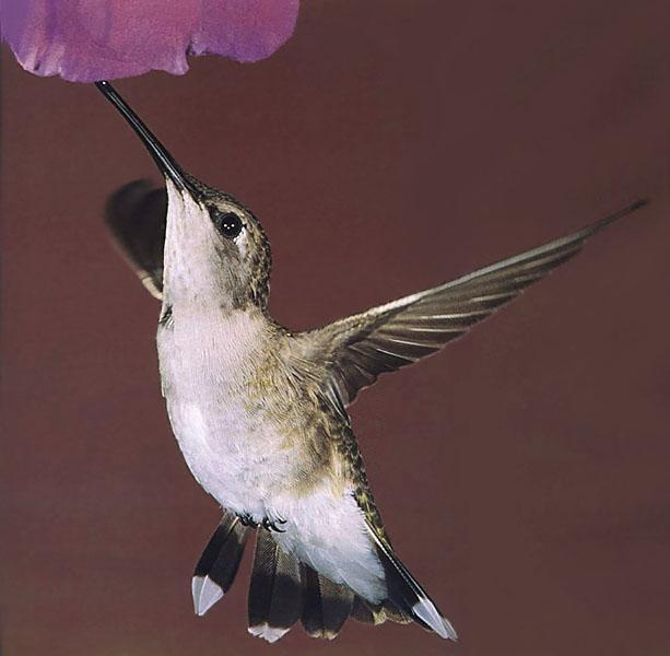 Hummingbirds - black-chinned hummingbird female 11; Image ONLY