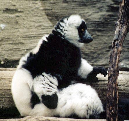 Black-and-white ruffed lemurs; Image ONLY