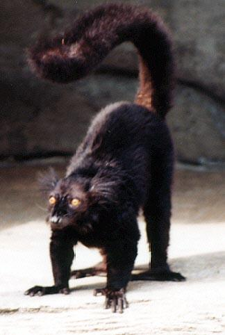 black lemur; Image ONLY