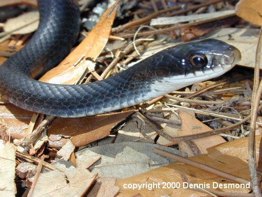 Southern Black racer; Image ONLY