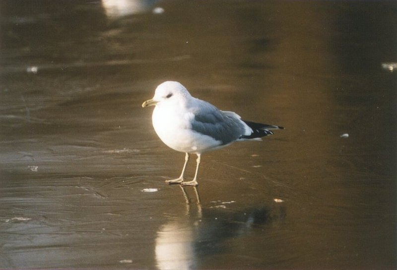 Birds from the Netherlands - common_gull.jpg; DISPLAY FULL IMAGE.