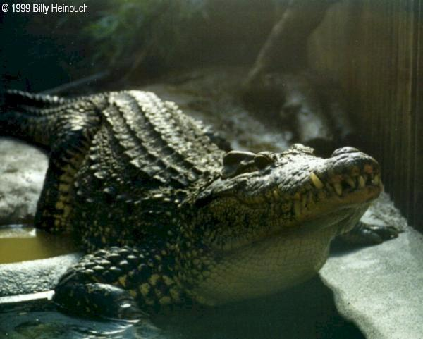 Cuban Crocodile  ( C. rhombifer ); Image ONLY