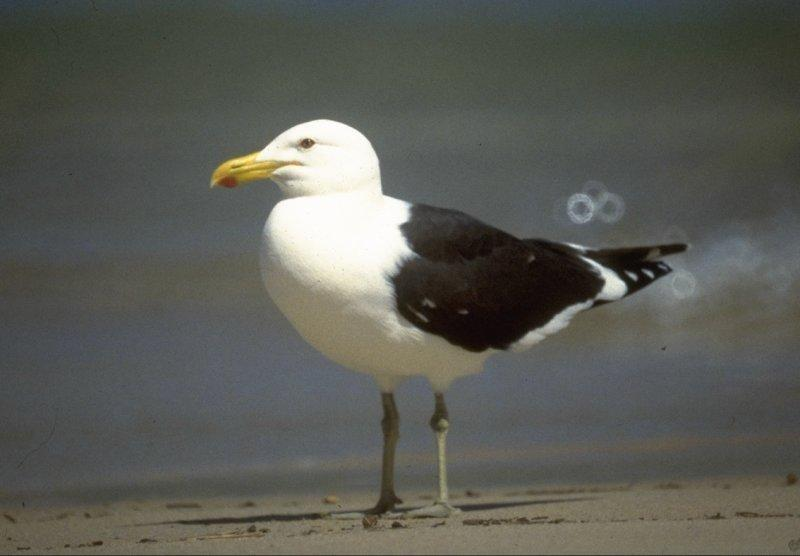 Re: Looking for bird pix! - dominican_gull.jpg; Image ONLY