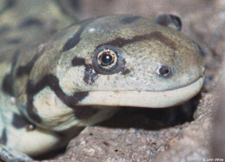 Eastern Tiger Salamander close-up-by John White.jpg