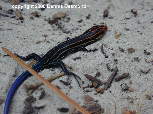 Southeastern Five Lined Skink; Image ONLY