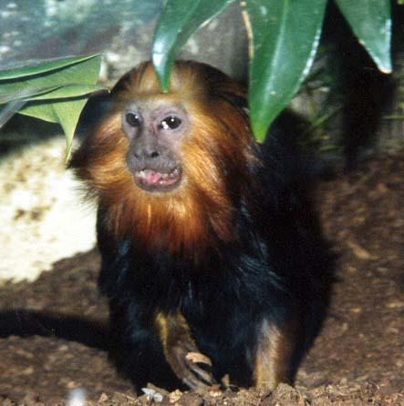 golden headed lion tamarin; Image ONLY