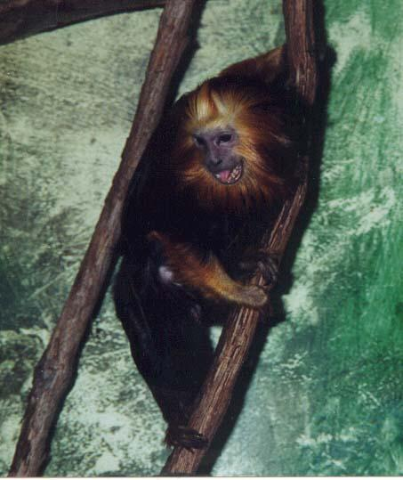 golden headed lion tamarin 2; Image ONLY