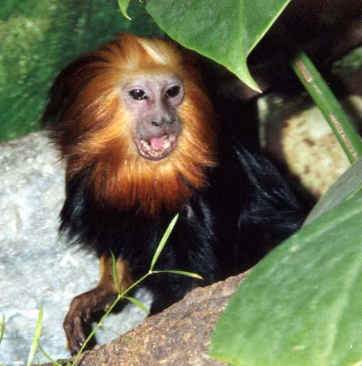 golden headed lion tamarin 3; Image ONLY