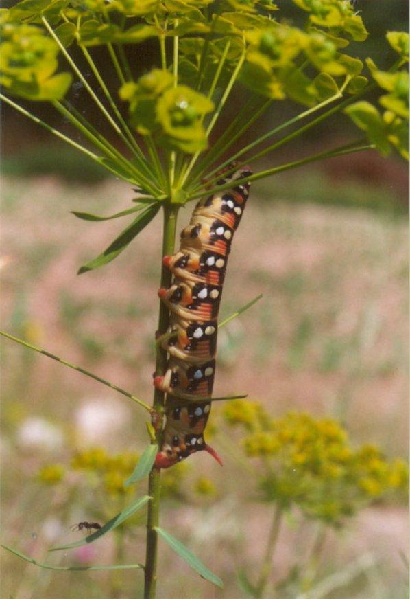 Insects from Greece 2 - Spurge Hawkmoth caterpillar; Image ONLY
