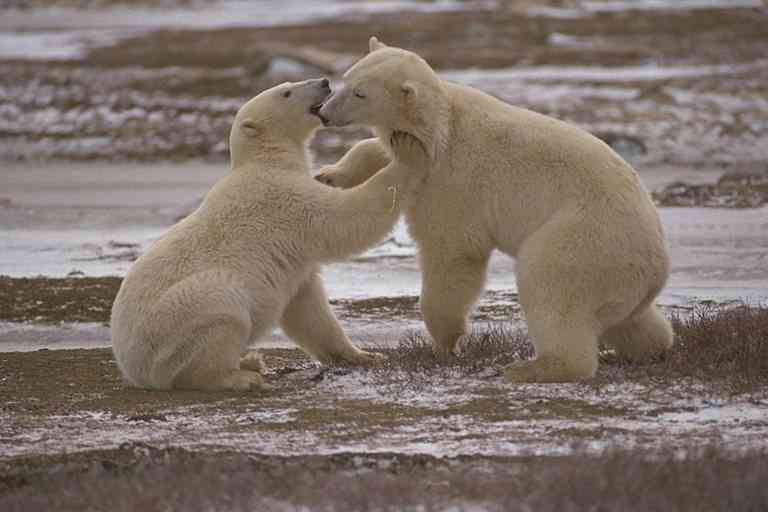 IJsberen -- Polar Bears; Image ONLY