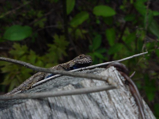 Lizard4 (Fence Swift); Image ONLY