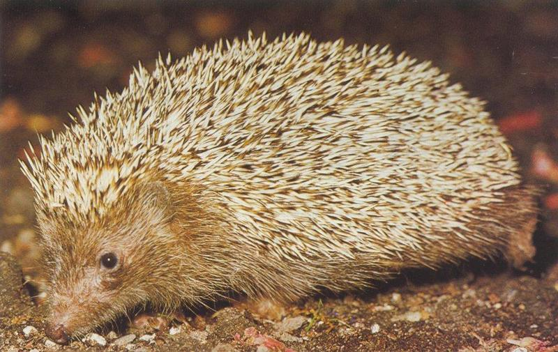 Re: Hedgehogs - egel2.jpg -- West European Hedgehog (Erinaceus europaeus); DISPLAY FULL IMAGE.