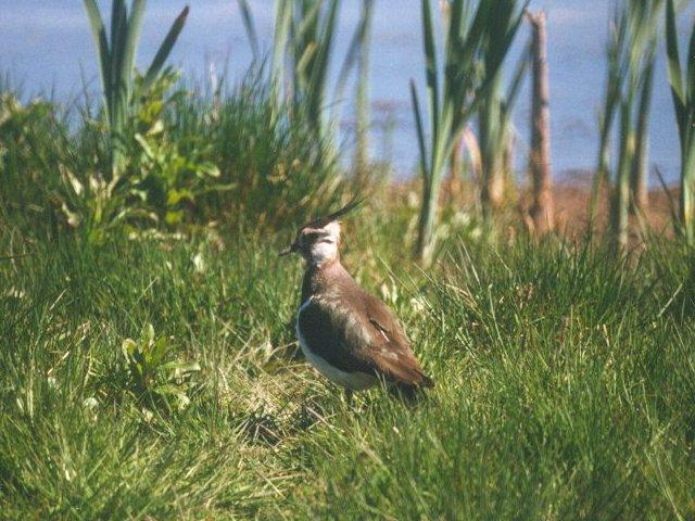 Birds from Holland - Northern Lapwing (Vanellus vanellus); Image ONLY