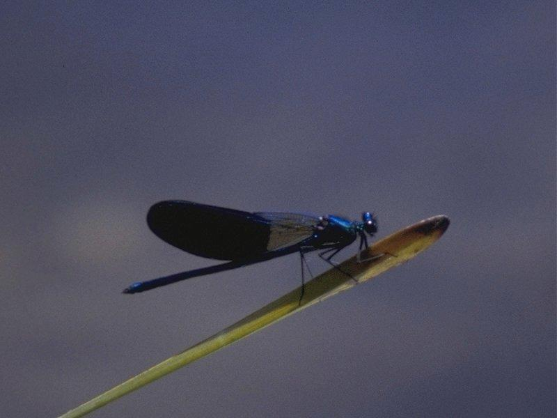 Re: req: insect pix - damselfly.jpg; Image ONLY