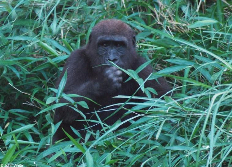 Mountain Gorilla 2; Image ONLY