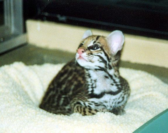 baby ocelot 2; Image ONLY