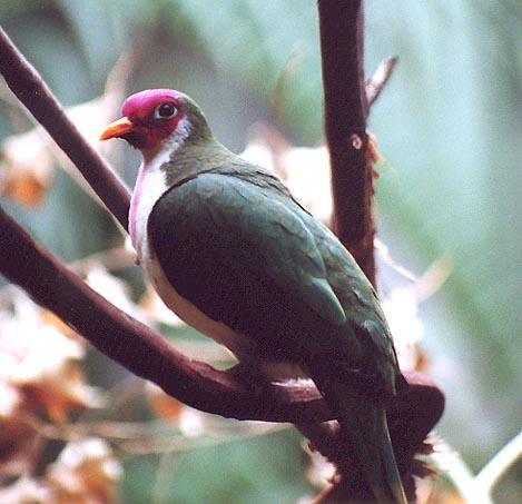 Pink and green bird-Jambu Fruit Dove-by Denise McQuillen.jpg