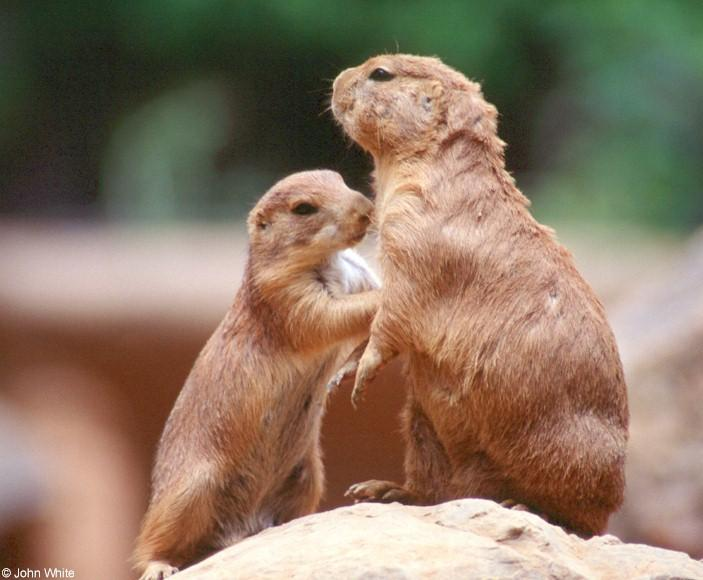 Prairie Dog 5; Image ONLY