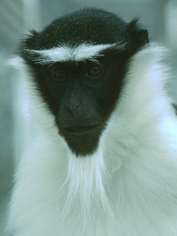 Rolaway Monkey -- Roloway monkey (Cercopithecus roloway); Image ONLY