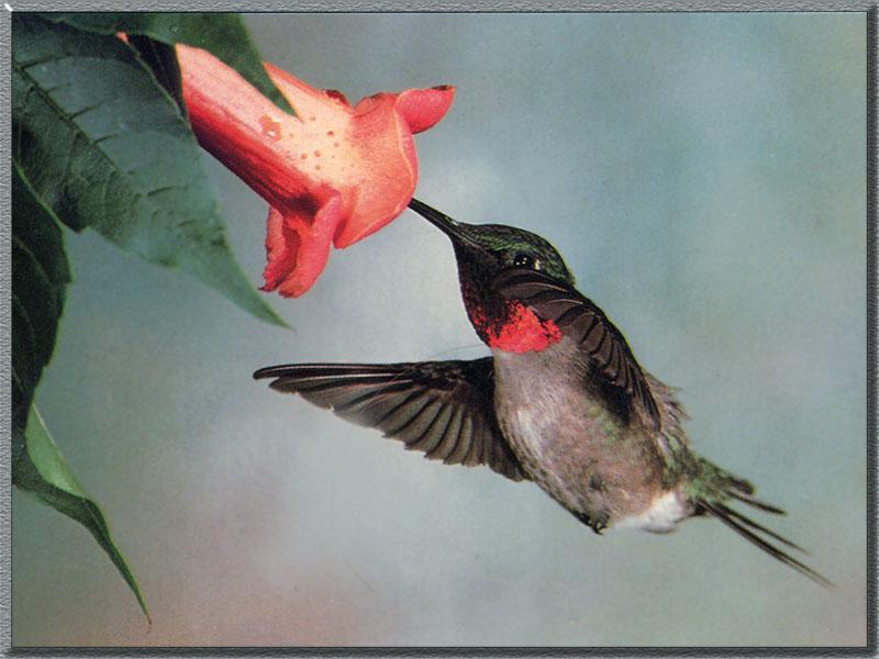Ruby-throated Hummingbird  (7); Image ONLY