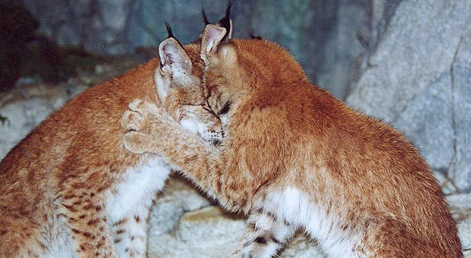Siberian Lynx kittens playing 2; Image ONLY
