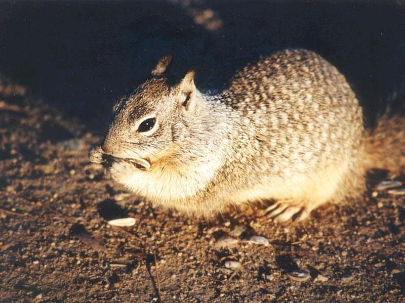 Calif. Ground Squirrel skwerl1.jpg; DISPLAY FULL IMAGE.