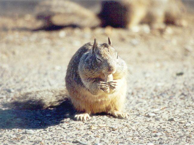 Calif. Ground Squirrel skwerl10.jpg; Image ONLY