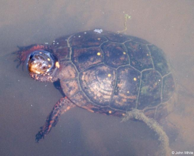 Spotted Turtle 2; Image ONLY