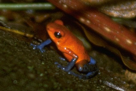 Strawberry poison dart frog - Dendrobates pumilio; Image ONLY