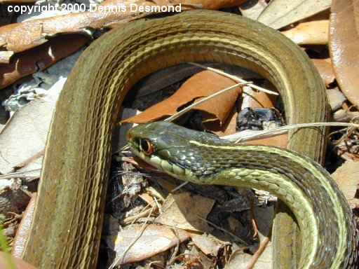 Ribbon Snake 1/3; Image ONLY